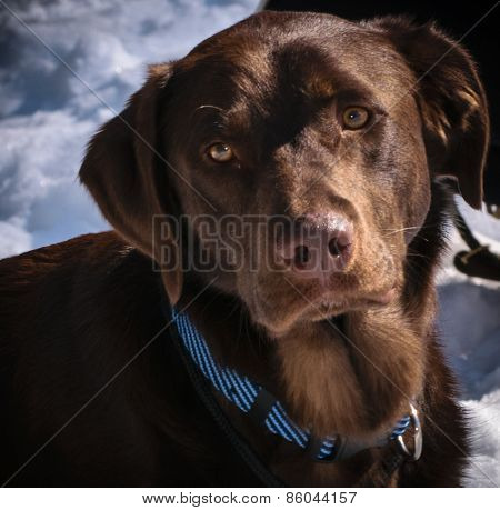 Young Male Chocolate Lab