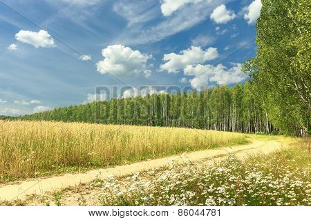 Rural landscape with cereal field and birch grove
