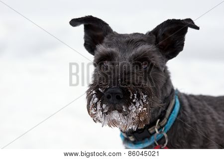 Schnauzer With Snow