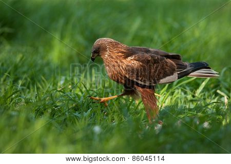 Marsh Harrier Male,going All Over The Meadow