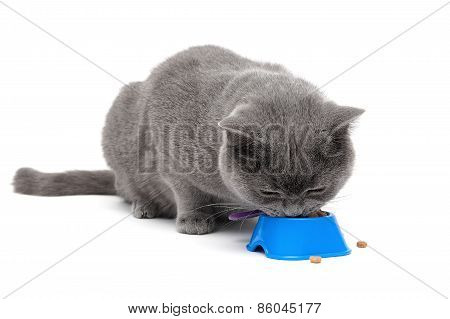 Scottish Cat Eating Food From A Bowl On A White Background