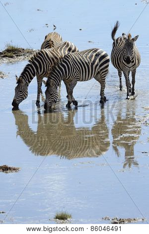 Zebra's in water