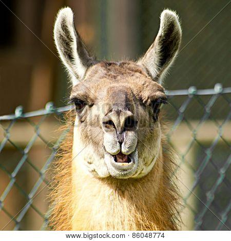 Llama Looking Nosy