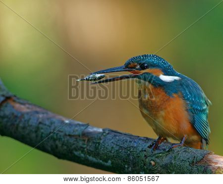 Common Kingfisher Tossing The Fish Before Swallowing Down