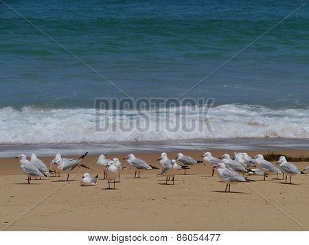 Gulls on Garlie beach in Australia