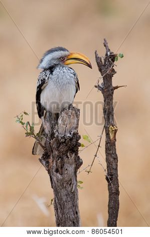 Yellow Billed Hornbill Sitting On Branch And Rest