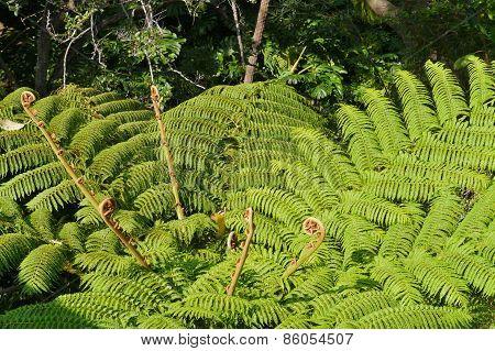 A soft fern tree in Australia