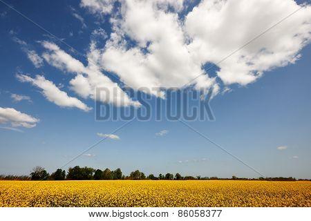 Rape Field And Sky