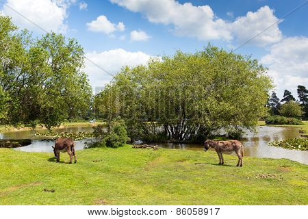 New Forest donkies by a lake on a sunny summer day in Hampshire England UK