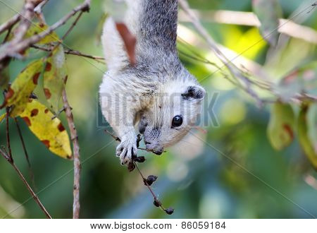Cambodian Striped Squirrel Tamiops Rodolphii