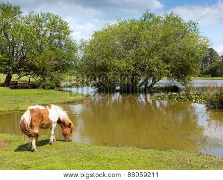 New Forest pony by a lake on a sunny summer day in Hampshire England UK