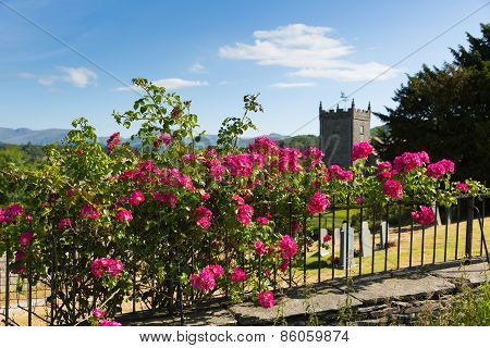 Beautiful pink roses climbing on a rail by a church with grave stones and tree in summer