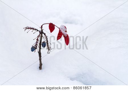 Canyon Grape In Winter
