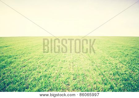 Vintage Photo Of Young Green Cereal Field