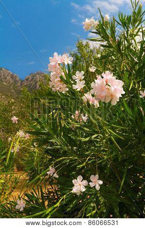 Rhododendron, Rosebay In Greece