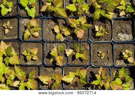 Seedlings On The Vegetable Tray