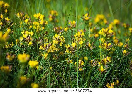 Wild Flowers Yellow Toadflax (linaria Vulgaris) On A Green Meadow