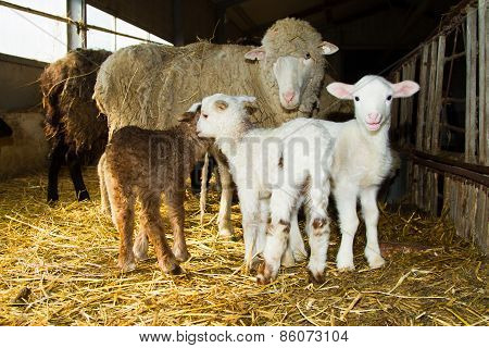 Mother Sheep With Lambs