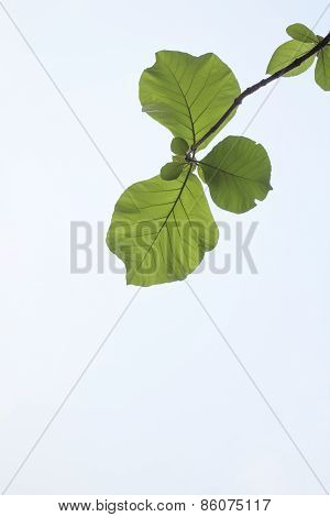 Green Leaf And Clear Sky, Leaf Branch Lines