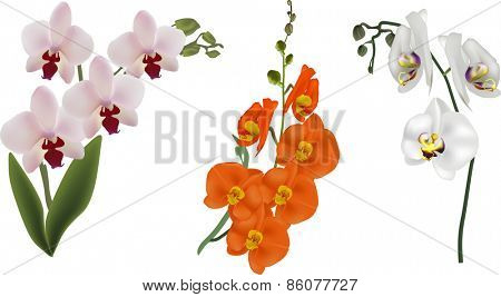 illustration with orchid flowers isolated on white background