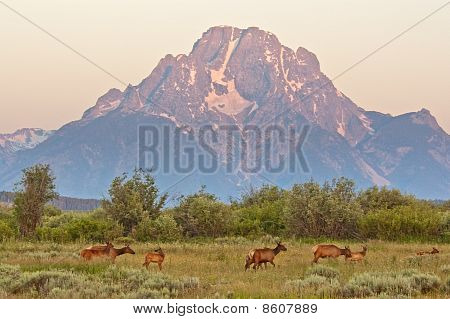 Elk At Sunrise Under Mount Moran