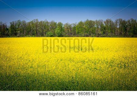 Nice yellow rape field meadow
