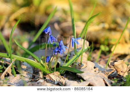 Scilla bifolia flowers in forest at spring time