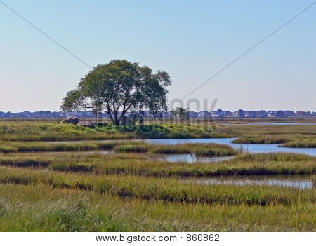 oak tree in the marsh