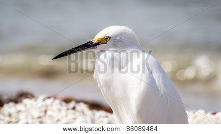 Egret on Florida Beach