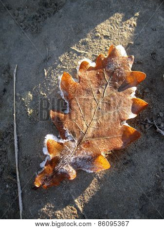 Frozen Oak Leaves Laying In The Snow