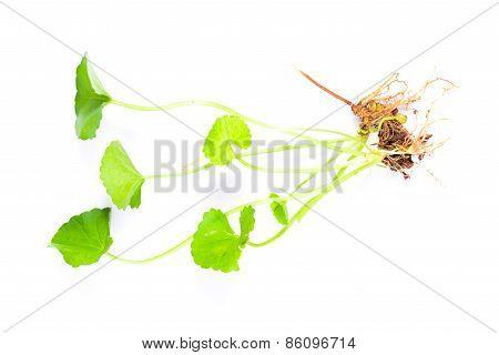 Centella Asiatica, Asiatic Pennywort