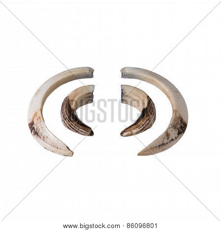 Boar tusk isolated on white