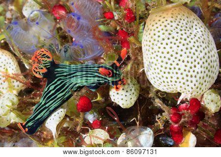 Nudibranch Eating Ascidians