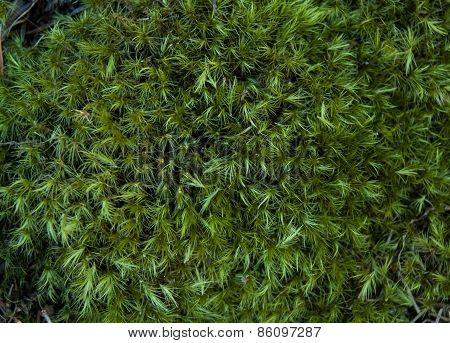 Close Up Of Fluffy Green Moss