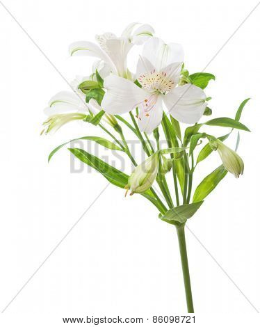 White Alstroemeria  isolated on white background.