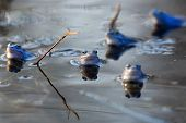 image of amphibious  - Moor frogs in the wild in the water - JPG