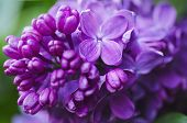 stock photo of violets  - Macro image of spring lilac violet flowers, abstract soft floral background
