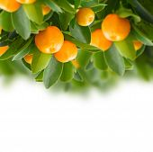 picture of tangerine-tree  - Garden with tangerine tree branches   on white background - JPG