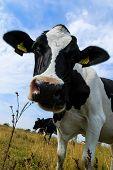 pic of sea cow  - Curious Holstein Frisian cow close - JPG