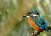 stock photo of sun perch  - Poland in June.Common Kingfisher in the full sunsitting on the branch.He is drying feathers in the sun ** Note: Visible grain at 100%, best at smaller sizes - JPG