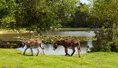 Постер, плакат: New Forest donkies by a lake on a sunny summer day in Hampshire England UK