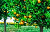 stock photo of tangerine-tree  - Branches with the fruits of the tangerine trees Montenegro - JPG