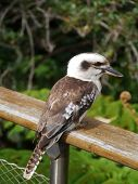 picture of oz  - The Laughing Kookaburra  - JPG