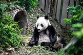 foto of panda bear  - Hungry giant panda bear eating bamboo - JPG