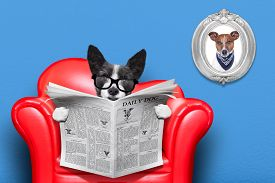 foto of couch  - terrier dog reading newspaper on a red sofa couch or lounger in living room isolated on blue wall - JPG