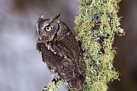 pic of screech-owl  - Eastern Screech Owl sits on a lichen covered branch. ** Note: Shallow depth of field - JPG