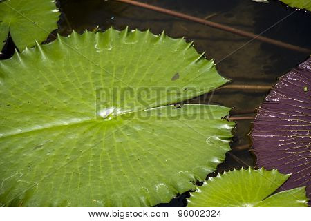 Blue Lotus Flower Or Water Lily