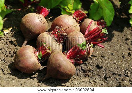 Fresh new beet on soil in garden
