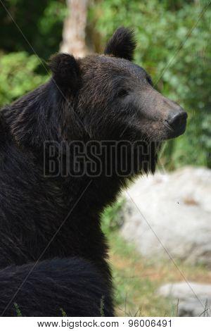 Ussuri Brown Bear (Ursus Arctos Lasiotus)