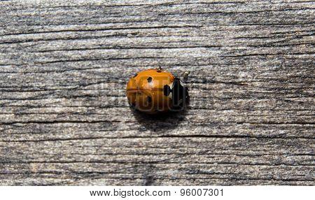 Orange Lady Bug